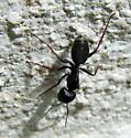 Camponotus herculeanus? - Camponotus modoc - female