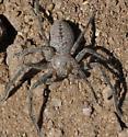 Large spider - Curicaberis peninsulanus