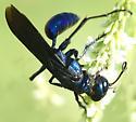 Blue Spider Wasp - Chlorion aerarium - female