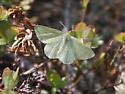 Butterfly on serpentine tundra, Newfoundland - Mesothea incertata