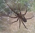 Brown recluse? - Kukulcania hibernalis