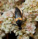 Macrosiagon flavipennis - female