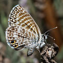 Little Butterfly with WingEyes - Leptotes marina - female