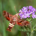 unknown sphinx moth - Amphion floridensis