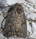 moth - Nudorthodes texana
