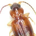 Ground beetle 10.06.11 (3) - Tachys scitulus