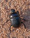 Blackburn's Earth Boring Beetle - Geotrupes blackburnii