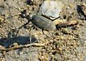 Backbay Beetle - Cicindela trifasciata
