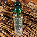 Very Green Fly - Microchrysa polita - female