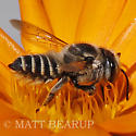 Leafcutter Bee - Megachile brevis