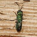 Chrysididae - Chrysis