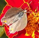 Gray hairstreak - Strymon melinus - female