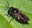 Fly - Microdon