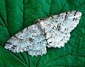 Signate Melanolophia (light form) - Melanolophia signataria
