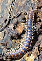 flat backed millipede - Auturus evides