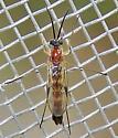 Olbiogaster - male