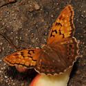 Asterocampa clyton - Tawny Emperor - Asterocampa clyton - female