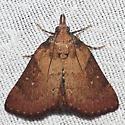 5627 - Omphalocera munroei