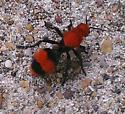 Velvet ant??? - Dasymutilla occidentalis - female