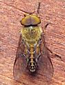 Horse fly - Tabanus pallidescens - male