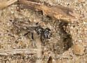 9047395 wasp - female