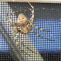 Huge Beige Spider - Araneus cavaticus - male