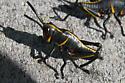 Black and orange grasshopper - Romalea microptera