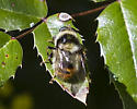 Hover fly - Criorhina caudata