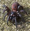 Unknown Spider - Antrodiaetus