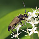 Longhorn Beetle - Trigonarthris