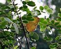 Sulphur - Phoebis philea - female