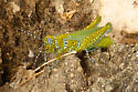 Bright Green Grasshopper? - Poecilotettix pantherinus - female