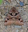 Euclidia cuspidea - Toothed Somberwing - Euclidia cuspidea