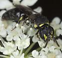 Bee IMG_2072 - Hylaeus - female