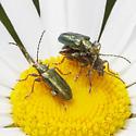 Unknown Beetles - Plateumaris - male - female
