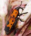 Beetle feeding on Eupatorium - Rhodobaenus quinquepunctatus