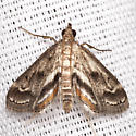 Obscure Pondweed Moth - Hodges #4760 - Parapoynx obscuralis