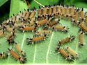 Milkweed Tiger Moth - Euchaetes egle