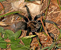 Aphonopelma with lair web - Aphonopelma - female