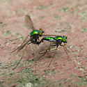 Mating pair of Longlegged Flies - Condylostylus comatus - male - female