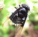 Copestylum mexicanum  - Copestylum mexicanum