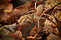 Nursery Web Spider (Pisaurina mira) - moving through leaf cover - Pisaurina mira - male