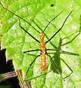 Milkweed Assassin Bug nymph - Zelus longipes