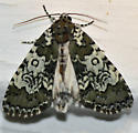 Marked Moth - Cerma cora