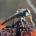 Sage scrub robber fly #1 - Stenopogon - male