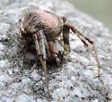 Spider 2531 - Neoscona arabesca