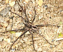 spider - Thanatus - male