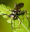 Spider Wasp on Fern - Ceropales maculata - male