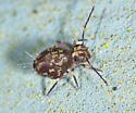 Symphypleona - Ptenothrix