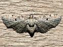Eupithecia affinata
